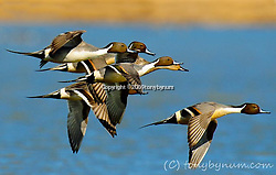 Waterfowl Photographer
