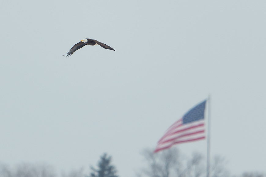 Bald Eagle Fighting 2/7/2013 Onondaga Lake