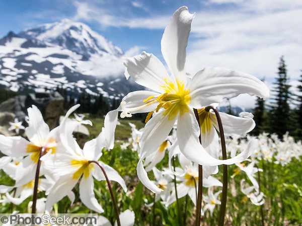 Fields of White Avalanche Lilies bloom in late July along the trail in Spray Park, in Mount Rainier National Park, Washington, USA. (© Tom Dempsey)
