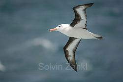 Black browed albatross  (Diomedea melanophris) | Schwarzbrauenalbatros (Diomedea melanophris) (Solvin Zankl)