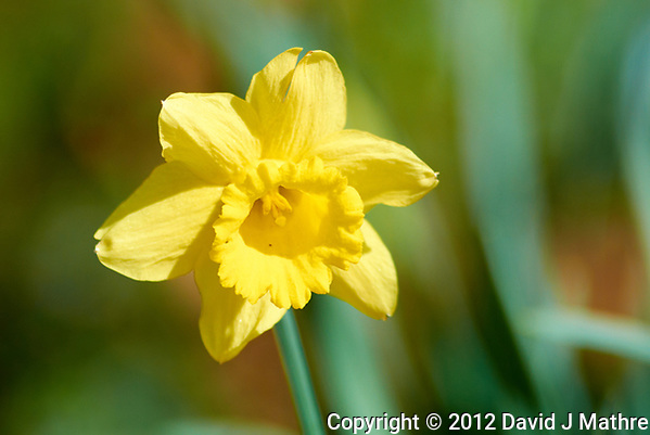 Late winter, and spring is comming! Daffodil bloom in the afternoon sun. Winter nature in New Jersey. Image taken with a Nikon 1 V1 camera, FT1 adapter, and 300 mm f/2.8 VR lens (ISO 100, 300 mm, f/2.8, 1/1600 sec). (David J Mathre)
