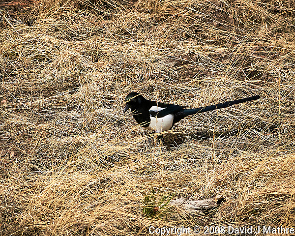 Black-billed Magpie at Rocky Mountain National Park. Image taken with a Nikon D300 camera and 300 mm f/2.8 lens (ISO 200, 300 mm, f/8, 1250 sec). (David J Mathre)