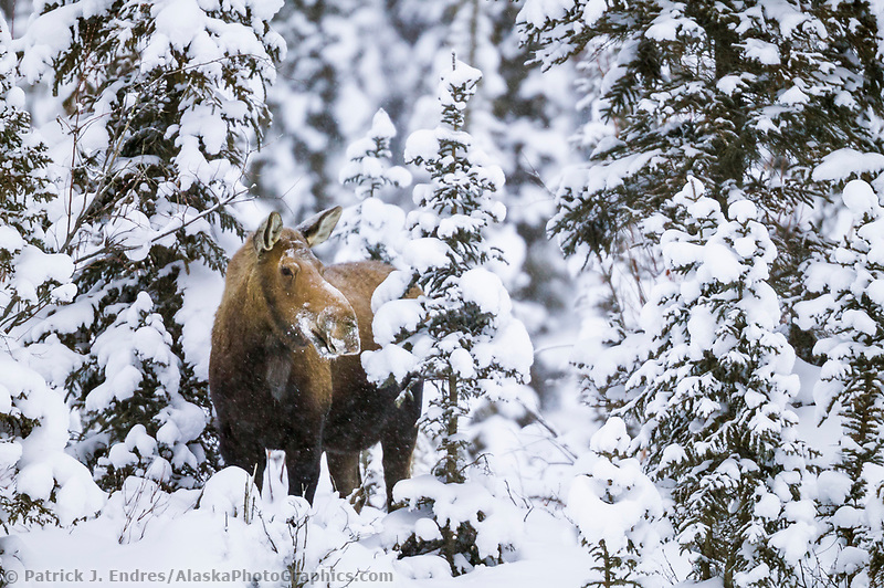 Cow moose in snowy boreal forest of spruce trees, Brooks Range, Alaska (Patrick J Endres / AlaskaPhotoGraphics.com)