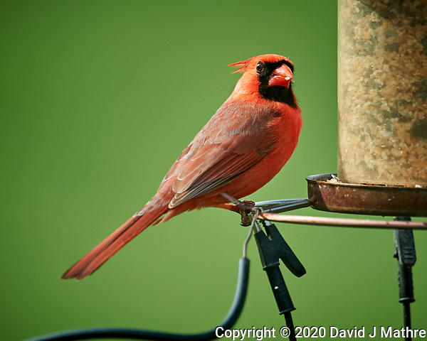 Male Northern Cardinal. Image taken with a Nikon D5 camera and 600 mm f/4 VR lens (ISO 1100, 600 mm, f/5.6, 1/1250 sec) (DAVID J MATHRE)