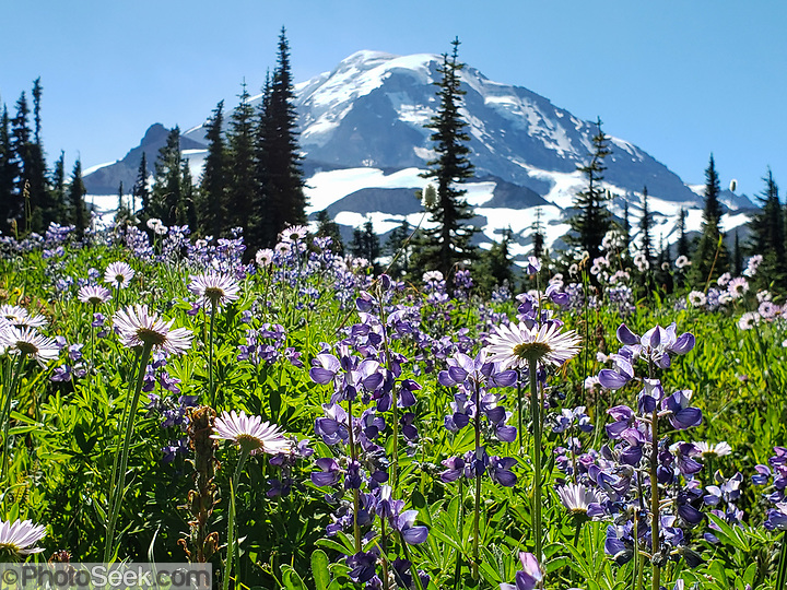 In memorium: lupin and aster flowers bloom prolifically in Spray Park in mid August 2020, in Mount Rainier National Park, Washington, USA.  (© Tom Dempsey / PhotoSeek.com)