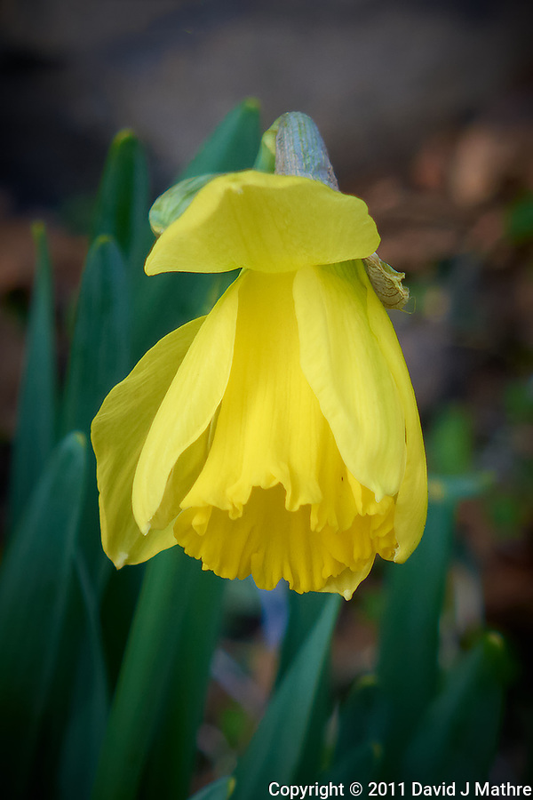 Late winter Daffodil bloom. Spring must be coming. Image taken with a Leica D-Lux 5 camera (ISO 100, 19 mm, f/3.3, 1/100 sec). (David J Mathre)