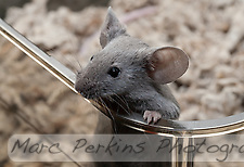 A gray male mouse pulls himself up over the edge of the plastic cage to peer off into the distance. (Marc C. Perkins)