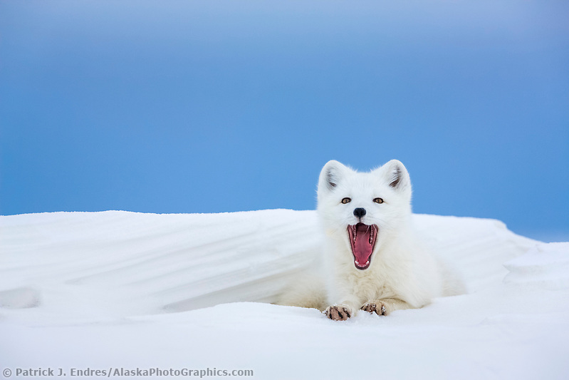 Arctic fox in white winter coat rests in a snowdrift along a lake in Alaska's arctic north slope. (Patrick J. Endres / AlaskaPhotoGraphics.com)