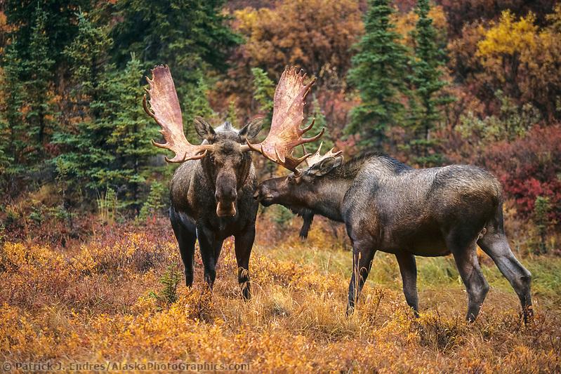 Young bull moose approaches mature adult bull in the autumn tundra, Denali National Park, Alaska (Patrick J. Endres / AlaskaPhotoGraphics.com)
