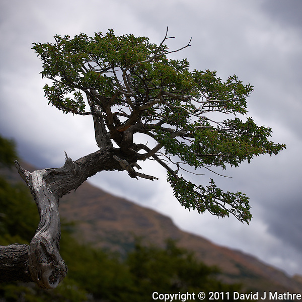 Tree in Patagonia taken during a hike to Mirador and Laguna Torre from Hosteria El Pilar in El Chalten, Argentina. Image taken with a Nikon D3x and 70-300 mm VR lens (ISO 100, 70 mm, f/4.5, 1/800 sec). (David J Mathre)