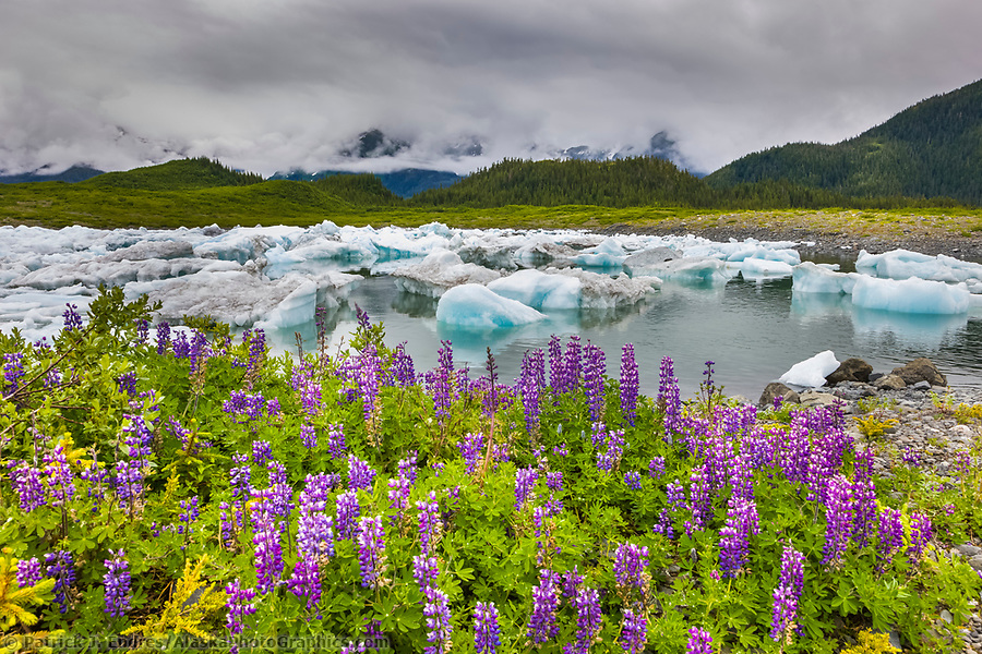 Alaska wildflower photos: Columbia glacier icebergs, Lupine wildflowers, northern Prince William Sound, southcentral, Alaska. (Patrick J. Endres / AlaskaPhotoGraphics.com)
