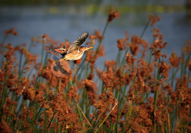 Male Least Bittern in flight in golden evening light in breeding colors (sandra calderbank)
