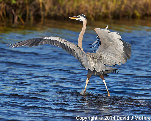 Great Blue Heron Walking on Water. Merritt Island National Wildlife Refuge. Image taken with a Nikon D4 camera and 500 mm f/4 VR lens (ISO 500, 500 mm, f/7, 1/4000 sec). (David J Mathre)