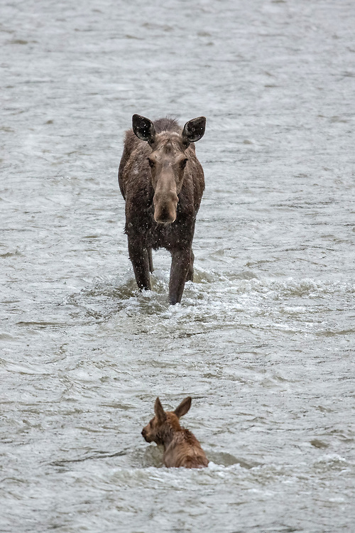 A moose cow nervously watches as her calf is washed downstream by the raging river. (Sandy Sisti)