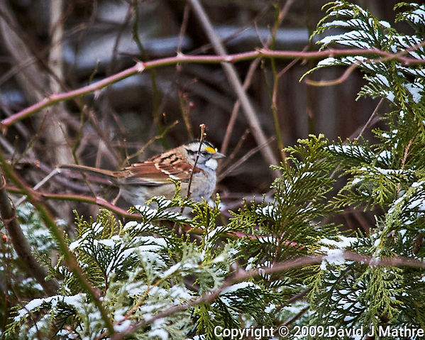 White-throated Sparrow perched on a vine. Image taken with a Nikon D700 camera and 80-400 mm VR lens (ISO 1600, 400 mm, f/8, 1/250 sec). (David J Mathre)