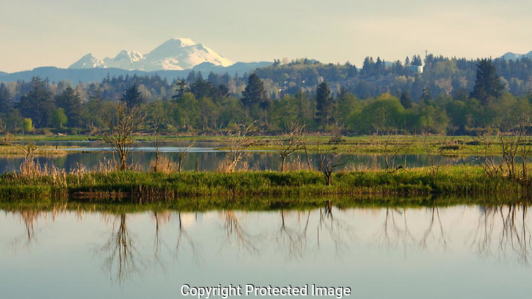 Mt Baker looms over the marsh at Spencer Island, creating a stunning backdrop to the scene. (G. Thomas Bancroft)