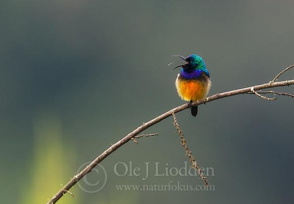 Regal Sunbird (Nectarinia regia) in Nyungwe NP, Rwanda (Ole Jørgen Liodden)