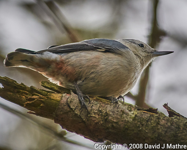 White-breasted Nuthatch perched on a branch. Image taken with a Nikon D300 camera and 80-400 mm VR lens (ISO 200, 400 mm, f/5.6, 1/400 sec). (David J Mathre)