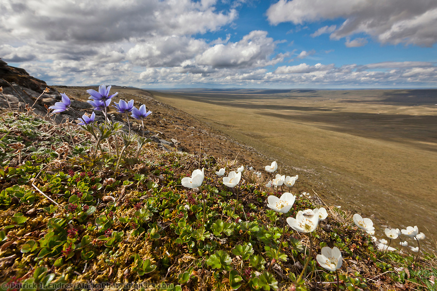 Wildflowers in the Utukok Uplands, National Petroleum Reserve Alaska, Arctic, Alaska. (Patrick J. Endres / AlaskaPhotoGraphics.com)