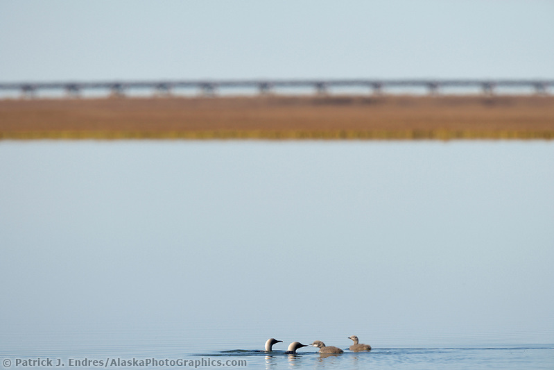 Arctic loon family on tundra pond in the arctic, Alaska (Patrick J. Endres / AlaskaPhotoGraphics.com)