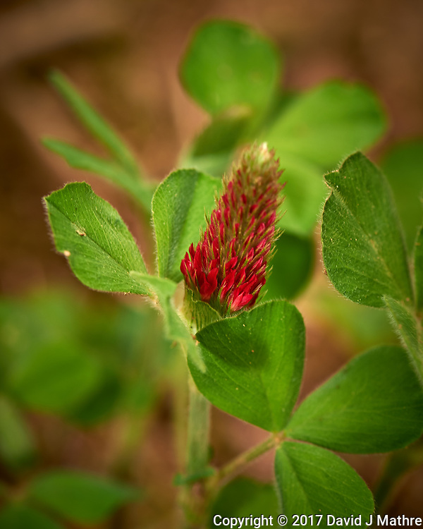 Italian Clover, crimson clover (Trifolium incarnatum). Backyard spring nature in New Jersey. Image taken with a Nikon Df camera and 105 mm f/2.8 VR macro lens (ISO 100, 105 mm, f/8, 1/125 sec). (David J Mathre)