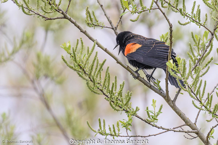 A male Red-winged Blackbird gives its harsh song to declare it owns this section of the marsh. (G. Thomas Bancroft)