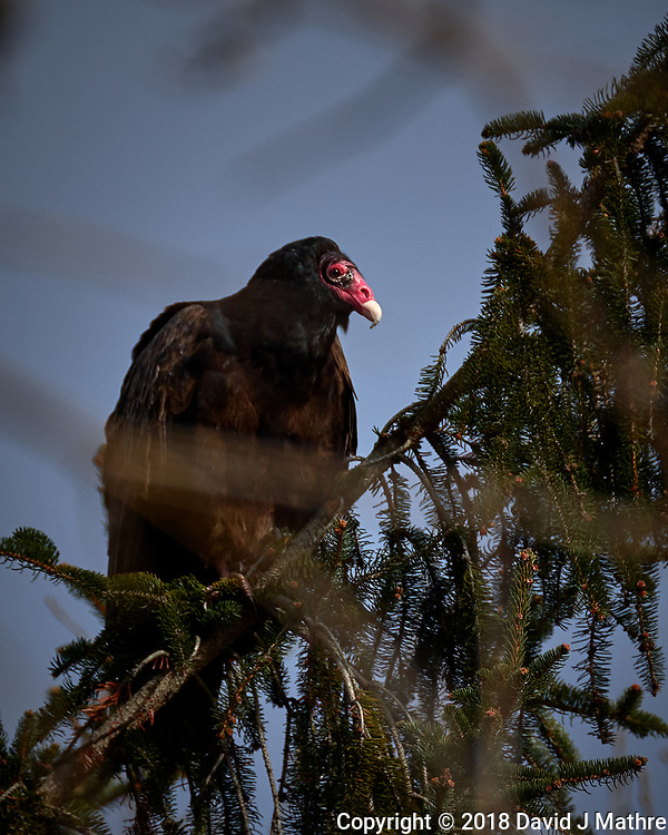 Turkey Vulture in a pine tree on a windy winter day. Image taken with a Fuji X-T2 camera and 100-400 mm OIS telephoto zoom lens (ISO 200, 400 mm, f/5.6, 1/1500 sec). (David J Mathre)