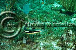 Whitefin Sharksucker, Echeneis neucratoides, Zuiew, 1789, Grand Cayman (StevenWSmeltzer.com)