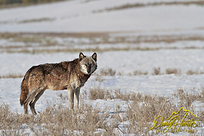 """Alpha Wolf, Canyon Pack, 712, Hayden Valley, Yellowstone National Park (© Daryl Hunter's """"The Hole Picture""""/Daryl L. Hunter)"""