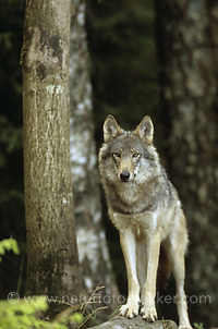 Wolf, Canis lupus, gray wolf (Frank Hecker)
