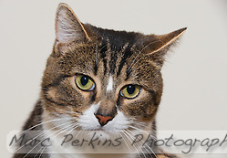 Oliver, a two year old male short-haired brown tabby and white cat, looks peacefully just off camera.  Oliver is a sweet cat who needs a home with no dogs and no kids.  Oliver is up for adoption at Miss Kitty's Rescue in Costa Mesa, CA.  This picture was taken pro bono for Miss Kitty's Rescue to help them advertise the cats for adoption. (Marc C. Perkins)