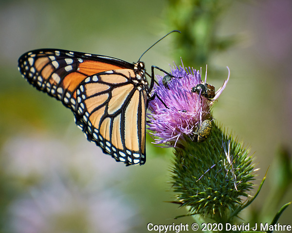 Monarch Butterfly on a Thistle flower. Image taken with a Nikon N1V3 camera and 70-300 mm VR lens (DAVID J MATHRE)
