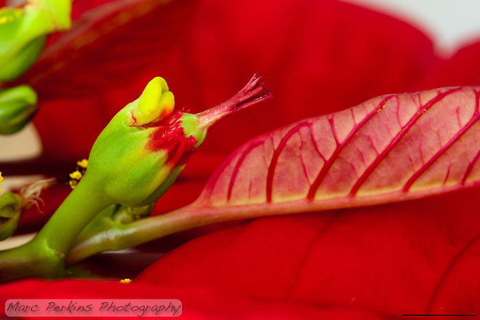A single female poinsettia flower with stigma, style, and ovary can be seen emerging from its involucre (cluster of bracts fused together).  The involucre also has a nectar gland emerging from it (that look like two lips).  The entire inflorescence (involcure and female flower) is called a cyanthium.  The red leaves surrounding the inflorescences (mostly out of focus, except for the one next to the female flower) are bracts.  The scale bar is 5mm long. (Marc C. Perkins)