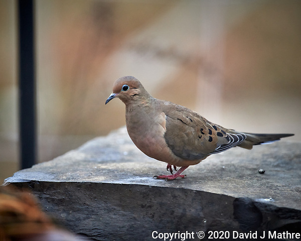 Mourning Dove. Image taken with a Nikon D5 camera and 600 mm f/4 VR lens (ISO 1400, 600 mm, f/4, 1/1250 sec). (DAVID J MATHRE)