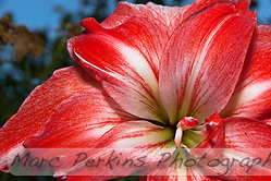 Amaryllis are commonly grown as indoor plants in cold regions, but here in Southern California I can grown them out in my yard.  The flowers are absolutely huge, and I wanted to capture the immensity of the blooms with this picture.  Seen in the background is a plot of roses, with a post-sunset dusky sky in the background.  As a side note, this may actually be a Hippeastrum, as plants sold as Amaryllis are apparently often actually Hippeastrum. (Marc C. Perkins)