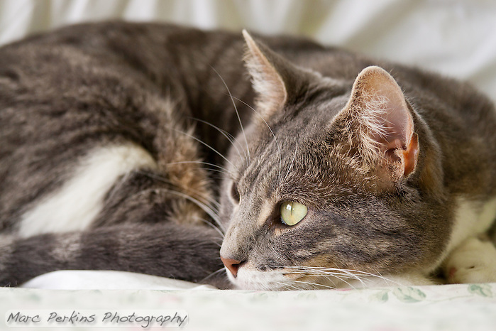 Bertie, a blue tabby and white shorthair cat, relaxing on a bed all curled up with his eyes open looking out a window. (Marc C. Perkins)