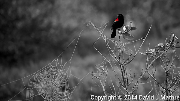 Red-Winged Black Bird on a Perch Above a Large Spider Web. Merritt Island National Wildlife Refuge in Florida. Image taken with a Nikon D3s camera and 80-400 mm VRII lens (ISO 250, 400 mm, f/5.6, 1/30 sec). Raw image processed with Capture One Pro 7 (including conversion to B&W with one color). (David J Mathre)
