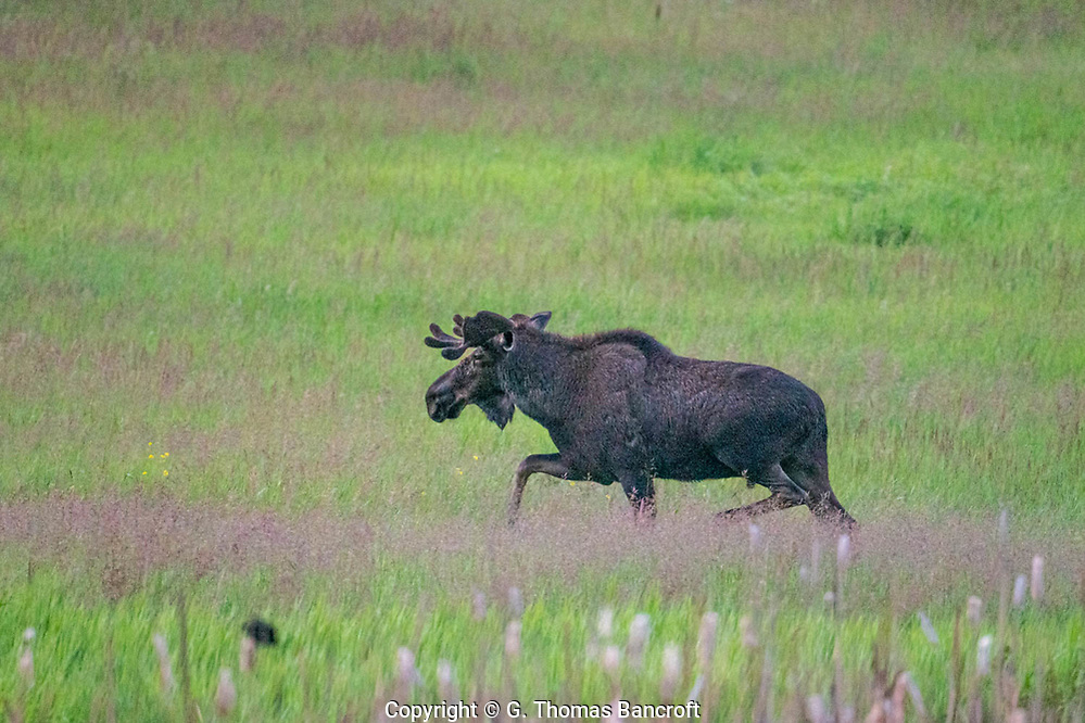 The Bull Moose begins to trott up the hill and away from Forde Lake where it had been feeding on wetland plants. Sinlahekin Natural Area, Okanogan. (G. Thomas Bancroft)