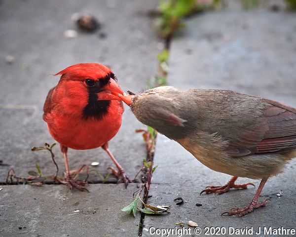 Father feeding Immature Northern Cardinal. Image taken with a Nikon D5 camera and 600 mm f/4 VR telephoto lens (ISO 1600, 600 mm, f/8, 1/200 sec). (DAVID J MATHRE)
