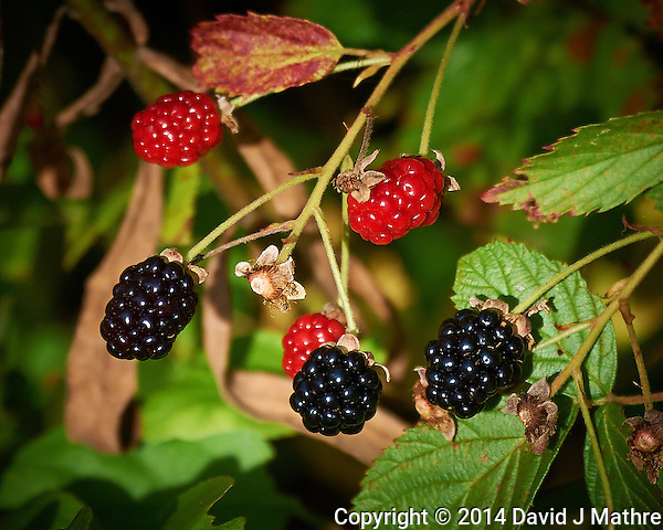 Late Summer Blackberries, Sourland Mountain Preserve in New Jersey. Image taken with a Nikon D3s camera and 80-400 mm VR lens (ISO 720, 400 mm, f/5.6, 1/2000 sec). Raw image processed with Capture One Pro, Focus Magic, and Photoshop CC 2014, (David J Mathre)