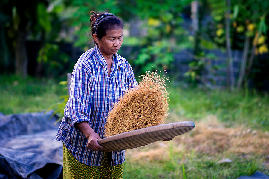 The 2016 Rice Harvest in Nakhon Nayok, Thailand. PHOTO BY LEE CRAKER (Lee Craker)