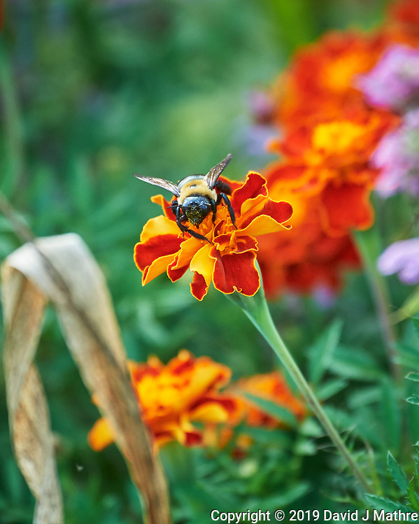 Bumblebee working a Marigold flower. Image taken with a Nikon D5 camera and 80-400 mm VRII lens (ISO 1600, 400 mm, f/5.6, 1/500 sec). (DAVID J MATHRE)