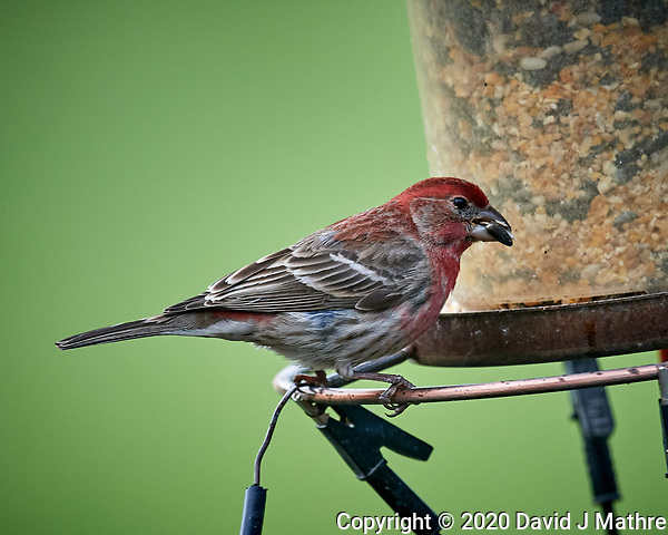 House Finch at a birdfeeder. Image taken with a Nikon D5 camera and 600 mm f/4 VR lens (ISO 1600, 600 mm, f/5.6, 1/1000 sec). (DAVID J MATHRE)
