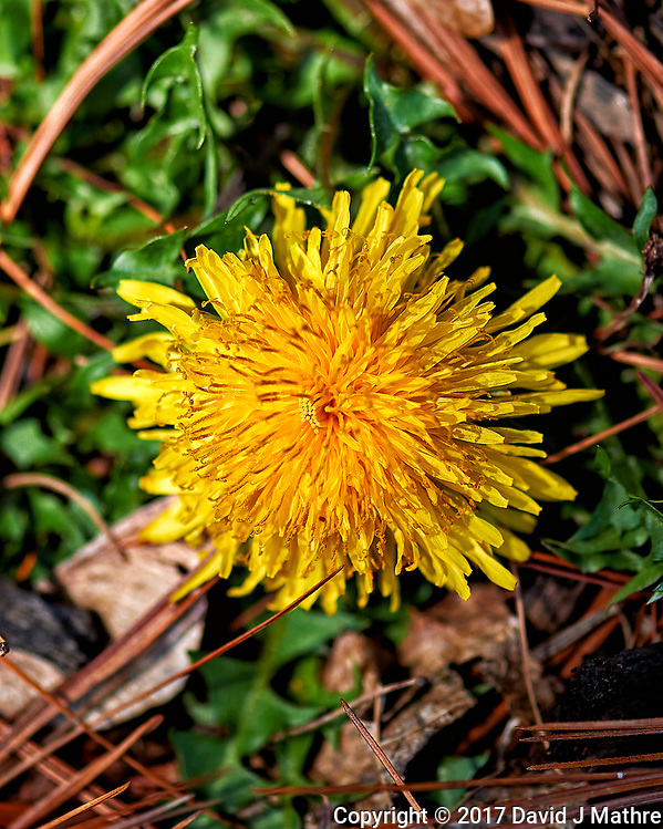 Early spring dandelion bloom. Backyard nature in New Jersey. Image taken with a Nikon Df camera and 105 mm f/2.8 VR macro lens (ISO 100, 105 mm, f/4, 1/500 sec). (David J Mathre)