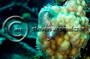 Christmastree Worm, Doc Paulson, Grand Cayman (StevenWSmeltzer.com)