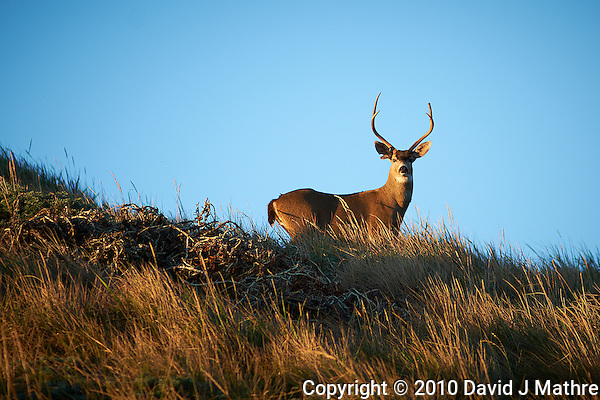 Early Morning Buck on a Ridge at Point Reyes National Seashore. Image taken with a Nikon D3x and 180 mm f/2.8 lens (ISO 100, 180 mm, f/2.8, 1/800 sec). (David J Mathre)