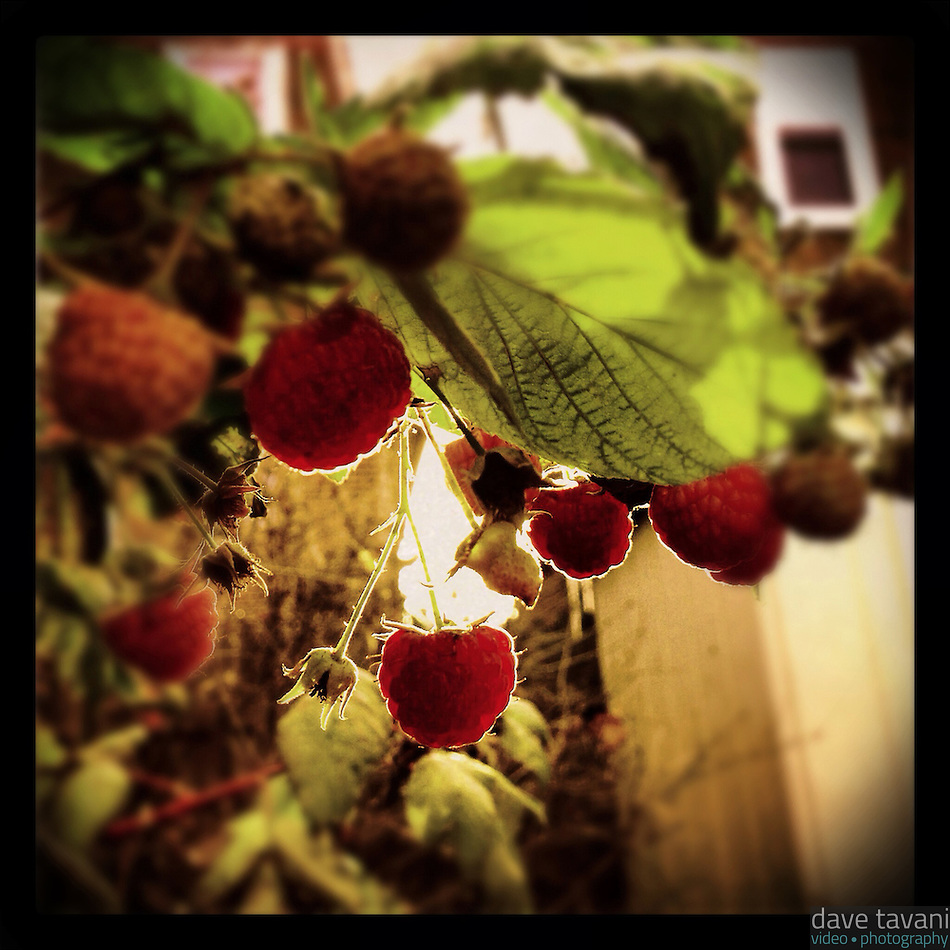 The sun peeks through the houses behind mine to illuminate the last few raspberries as December approaches, November 29, 2012. (Dave Tavani)