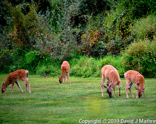 Early morning Doe and three Fawns. Image taken with a Fuji X-T3 camera and 200 mm f/2 OIS lens (ISO 400, 200 mm, f/2, 1/300 sec). (DAVID J MATHRE)