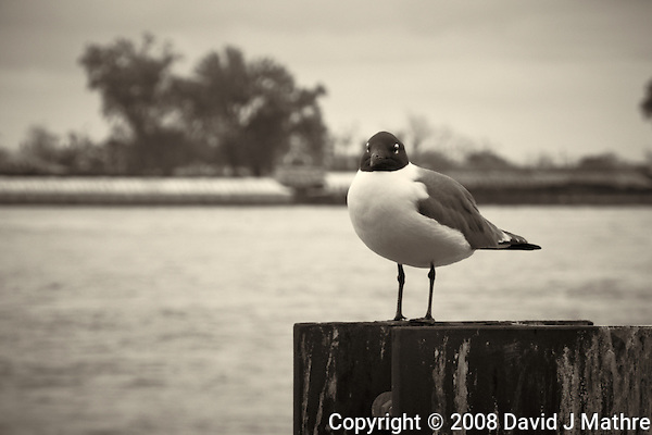 Seagull along Mississippi River in New Orleans, Louisiana. Image taken with a Nikon D300 and 18-200 mm lens (ISO 200, 130 mm, f/11, 1/125 sec). Processed with Capture One Pro (including conversion to B&W). (David J Mathre)