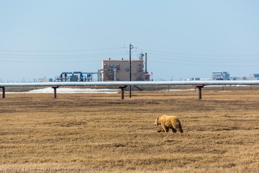 Grizzly bear walks across the tundra in the Prudhoe bay oil fields on Alaska's Arctic North Slope. (Patrick J. Endres / AlaskaPhotoGraphics.com)